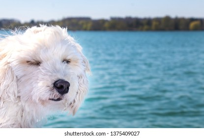 maltipoo puppy dog at windy weather boat trip