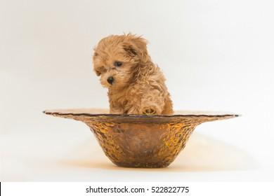 Maltipoo puppy sitting in a vase.