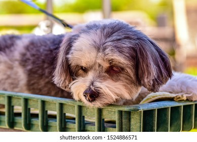 maltipoo service dog sitting in a cart looking content in close up