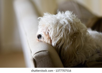 Maltipoo Waiting on Couch