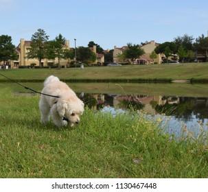 Maltipoo walking at beautiful park
