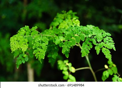 Malunggay or Moringa tree as the leaves act as one of the traditional healing herb
