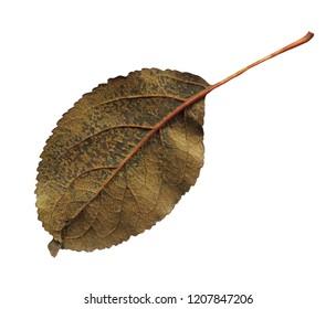 Malus autumn leaf on white. Apple leaf isolated on white background