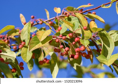 Malus baccata is an Asian species of apple known by the common names Siberian crab apple,  Siberian crab, Manchurian crab apple and Chinese crab apple.