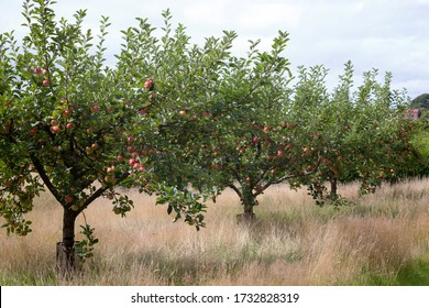 Malus domestica - Apple - variety 'Katy' in orchard at harvest time.