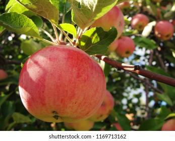 Malus domestica, apples on apple tree
