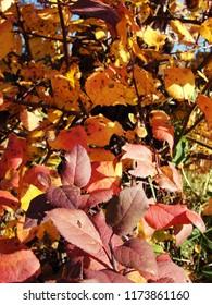 Malus domestica colorful autumn leaves