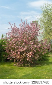 A  Malus Floribunda, also known as Crab Apple Covered in Pink Flowers
