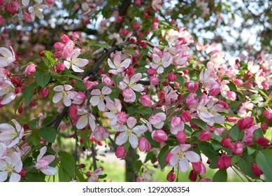 Malus floribunda pink and white blossom