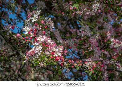 Malus Floribunda Pink And White Blossom (Selective Focus)