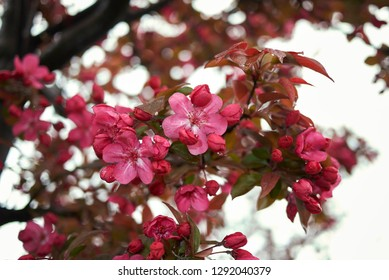 Malus floribunda purpurea