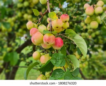 Malus is a genus of about 30 55 species of small deciduous trees or shrubs in the family Rosaceae including the domesticated orchard apple also known as the eating apple cooking apple or culinary