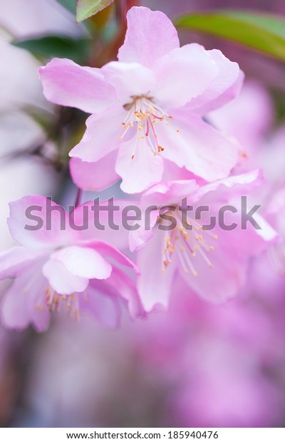 Malus halliana flower in spring