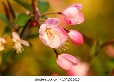 Malus halliana, also known as  Hall crabapple,  is an East Asian crabapple species of Malus.
