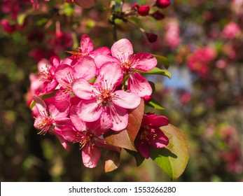 Malus Rudolph, dark pink flowers, close up. Crab Apple Rudolph or flowering Crabapple tree, with purple blossoms in the blurred bokeh background. Early spring. Abstract floral pattern design, backdrop