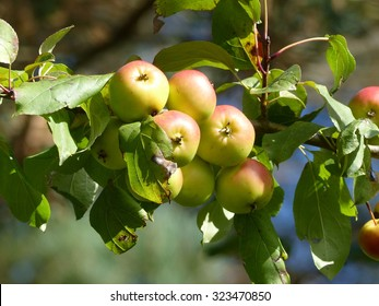 Malus sylvestris, the European crab apple, is a species of the genus Malus.