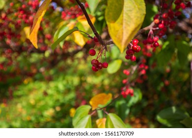 Malus transitoria, the cut-leaf crabapple, is a species of flowering plant in the crabapple genus Malus of the family Rosaceae.