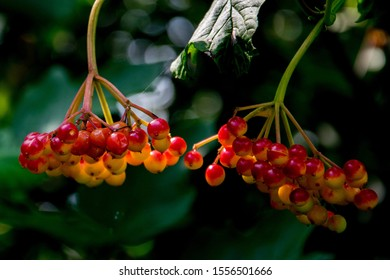 Malus tree with small fruits