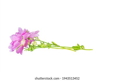 Malva alcea , greater musk-mallow, cut-leaved mallow, vervain mallow or hollyhock mallow fresh flowers collected in meadow for preparation of tincture to rub flowers isolated on white background - Shutterstock ID 1943513452