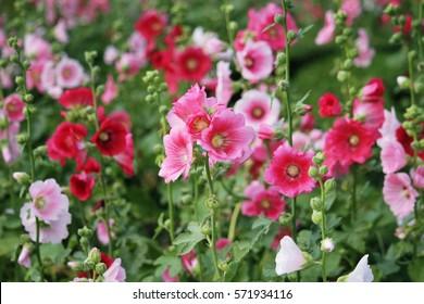 Malva (Alcea rosea hollyhock) flower