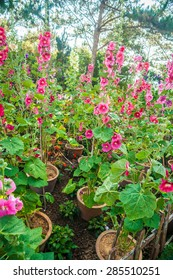 Malva (Alcea rosea hollyhock) flowers in a garden. Gorgeous floral background for holidays, beauty and nature.