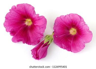 Malva (Alcea rosea hollyhock) pink flower on white background