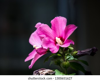 "Malva arborea or Lavatera arborea - Pink ""Garden Tree Mallow"" flower. Lavatera species are known as tree mallows, or rose mallows, royal mallows or annual mallows."