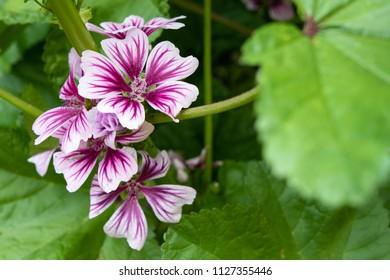 malva flower garden