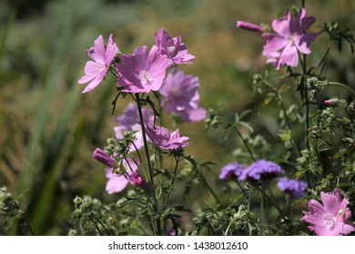 malva moschata with pink flowers