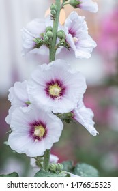 Malva Sylvestris. Blooming musk mallow (Malva alcea, cut-leaved mallow, vervain mallow or hollyhock mallow) in summer