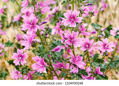 Malva sylvestris. Common mallow plants with flowers.
