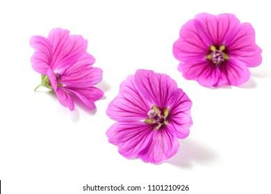 Malva sylvestris flowers