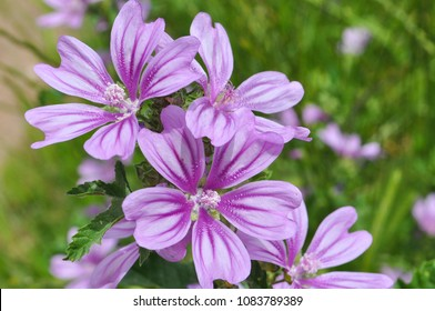 Malva sylvestris, Mallow plant - blue common mallow. Uncultivated and healthy plant