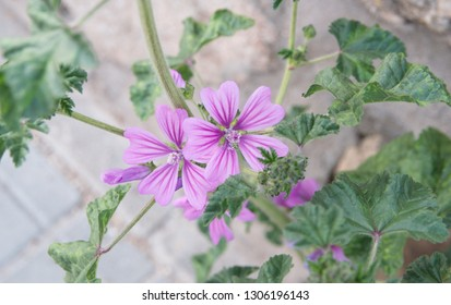 Malva sylvestris, Mallow plant with lilac pink flowers