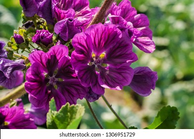 Malva sylvestris mauritiana (mallow, hollyhock flower) with purple blossoms. Lots of rich purple flowers with darker veins from midsummer into fall. Sun. Selective focus, shallow DOF