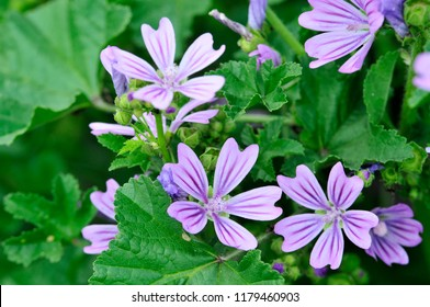 Malva sylvestris is a species of the mallow genus Malva in the family of Malvaceae and is considered to be the type species for the genus.