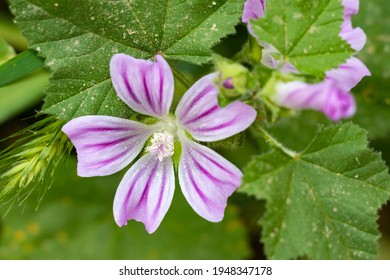 Malva sylvestris is a species of the mallow genus Malva in the family of Malvaceae. Known as common mallow, it acquired the names of cheeses, high mallow and tall mallow. Malva multiflora Cav. Soldano - Shutterstock ID 1948347178