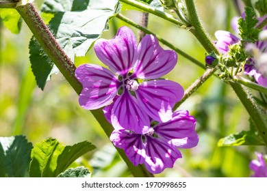 Malva sylvestris is a species of the mallow genus Malva in the family of Malvaceae. Known as common mallow, it acquired the names of cheeses, high mallow and tall mallow. Malva multiflora Cav. Soldano - Shutterstock ID 1970998655