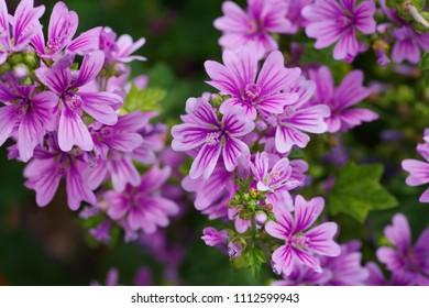 Malva sylvestris (Usubeni-aoi) - Shutterstock ID 1112599943