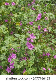 Malva Sylvestris Zebrina or Zebra Hollyhock is vigorous plant with showy flowers of bright mauve-purple with dark veins. M.Sylvestris is a species of the mallow genus Malva in the family of Malvaceae.