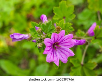 Malva Sylvestris Zebrina or Zebra Hollyhock is vigorous plant with showy flowers of bright mauve-purple with dark veins. M.Sylvestris is a species of the mallow genus Malva in the family of Malvaceae. - Shutterstock ID 1635397966