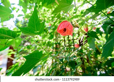 Malvaviscus arboreus Cav. var. drummondii , Turk's cap, Sleeping hibiscus, Wax Mallow