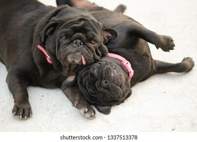 Mama and Baby Pug Playing on concrete road.