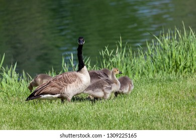 A mama goose stands guard over her young fluffy chicks in the green grass next to a calm pond.