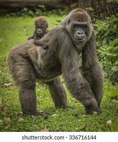 Mama Gorilla and Baby