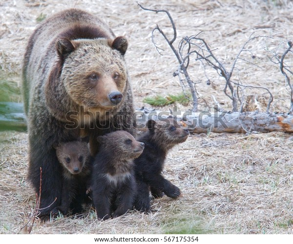 Mama grizzly bear with cubs