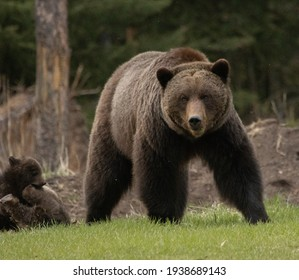 Mama Grizzly Bear in the wild with her cute baby cubs in the Canadian Rockies - Jasper National Park, Alberta, Canada
