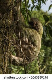 Mama sloth and its baby climbing a tree