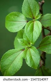Mamaki, Pipturus Albidus. Endemic to Hawaii. Plant in the nettle family. Medicinal native Hawaiian shrub.
