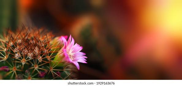 Mamillaria flowering spiky cactus with pink flower horizontal wide banner blurred background dark image free space to text gardening spring